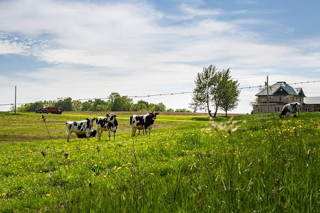 Four cows in a grass pasture