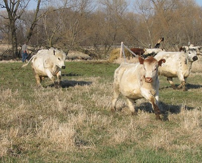 Cattle running in a pasture
